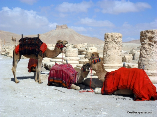 Camels in Palmyra
